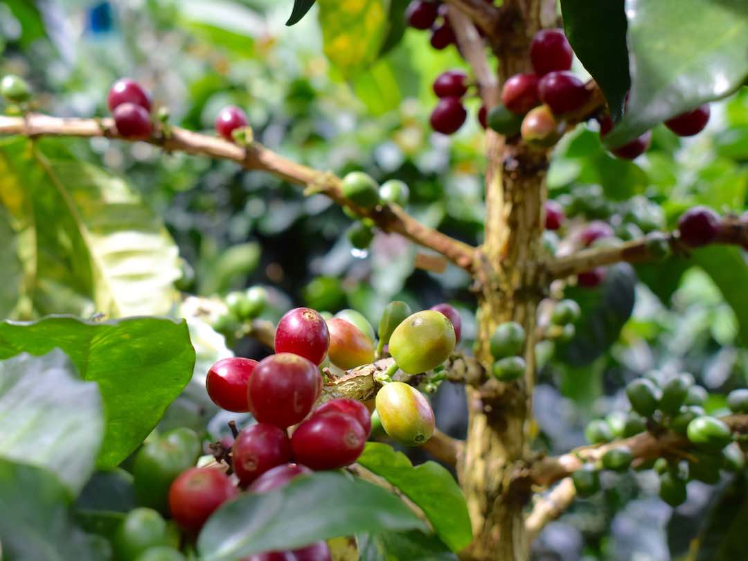 Coffee trees growing in Colombia coffee triangle