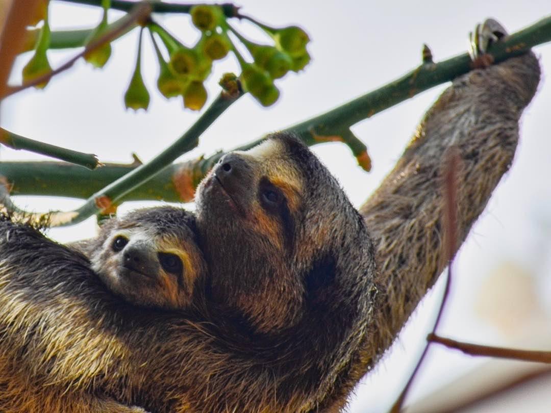 Things to do in Cartagena: Sloths in parque del centenario